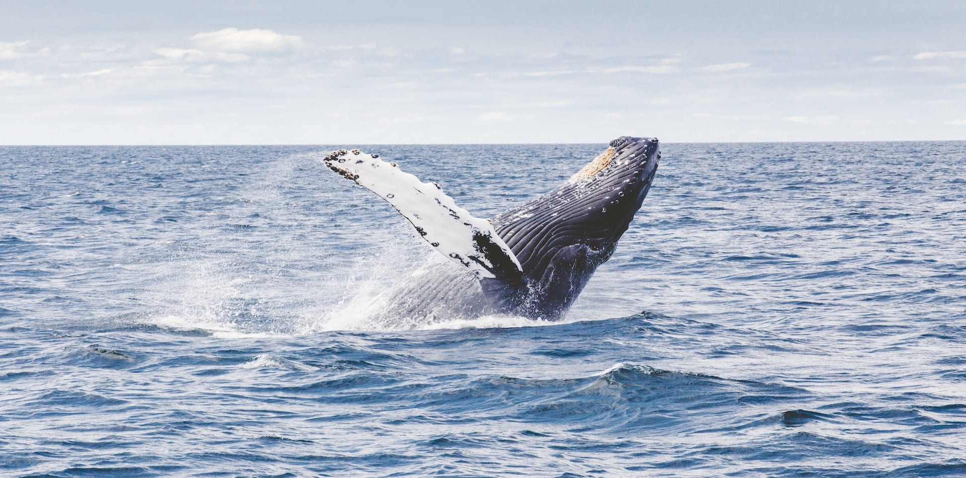 whale emerging for air