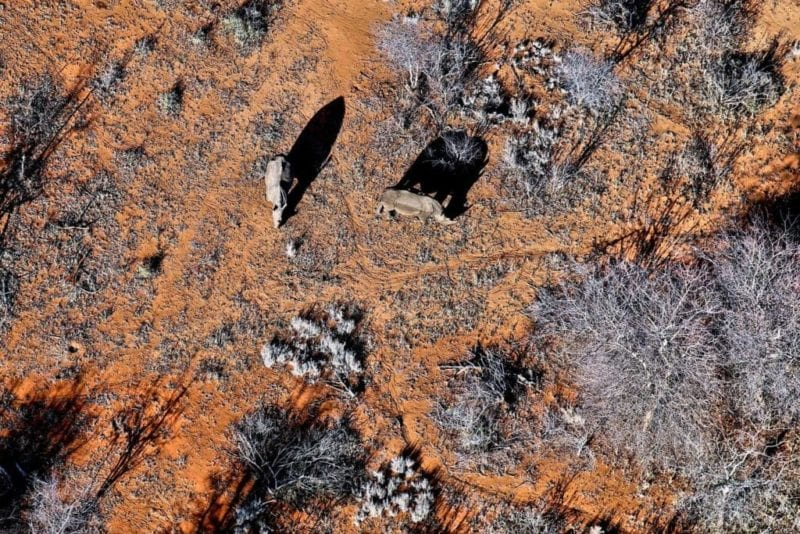 Ariel shot of two Rhinos grazing amongst the trees