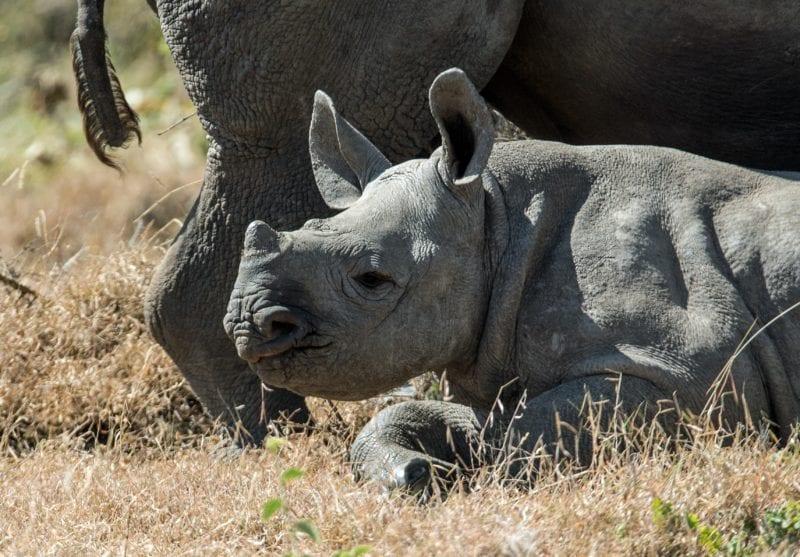 baby rhino sits in the grass next to mum, Kenya