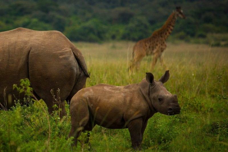Baby rhino stands next to mum, giraffe in background