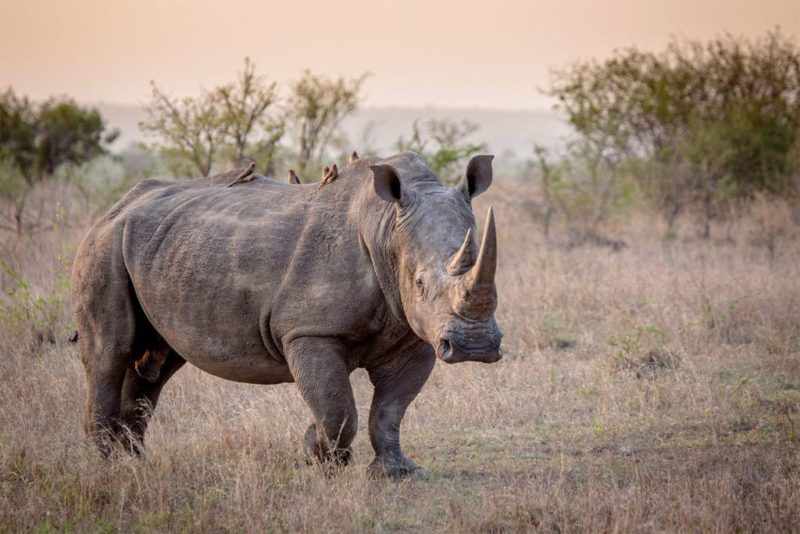 small birds sit and relax on this rhino's back