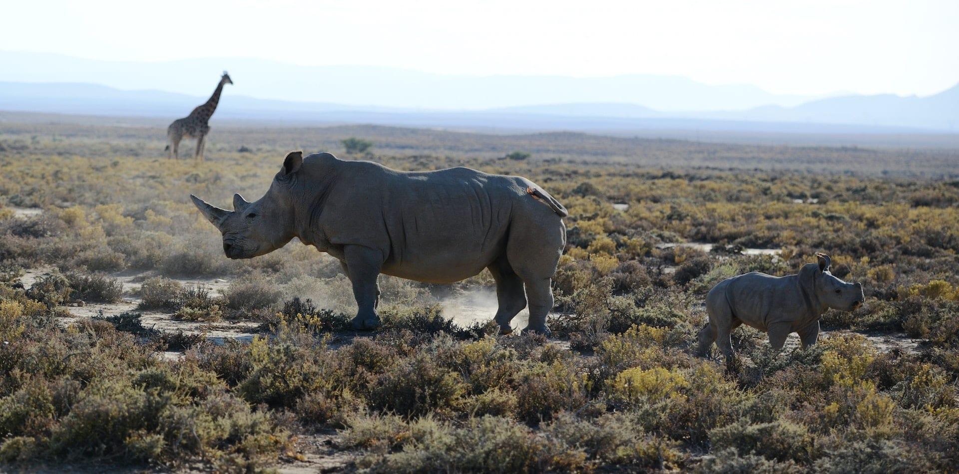 rhino and baby, featuring giraffe in background