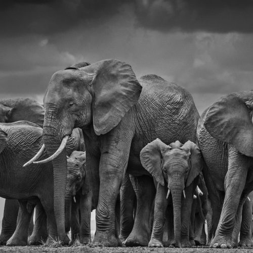 A herd of elephants captured by Yarrow in Amboseli on the Tanzanian/Kenyan border.