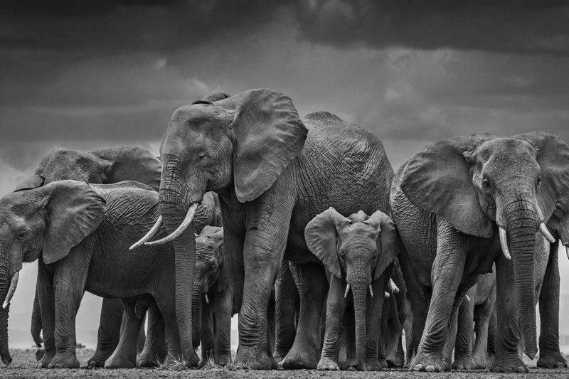 A herd of elephants captured by Yarrow in Amboseli on the Tanzanian/Kenyan border.