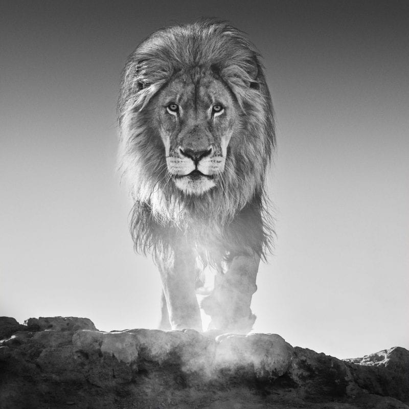 A striking yet intimate shot of a lion taken shortly after sunrise