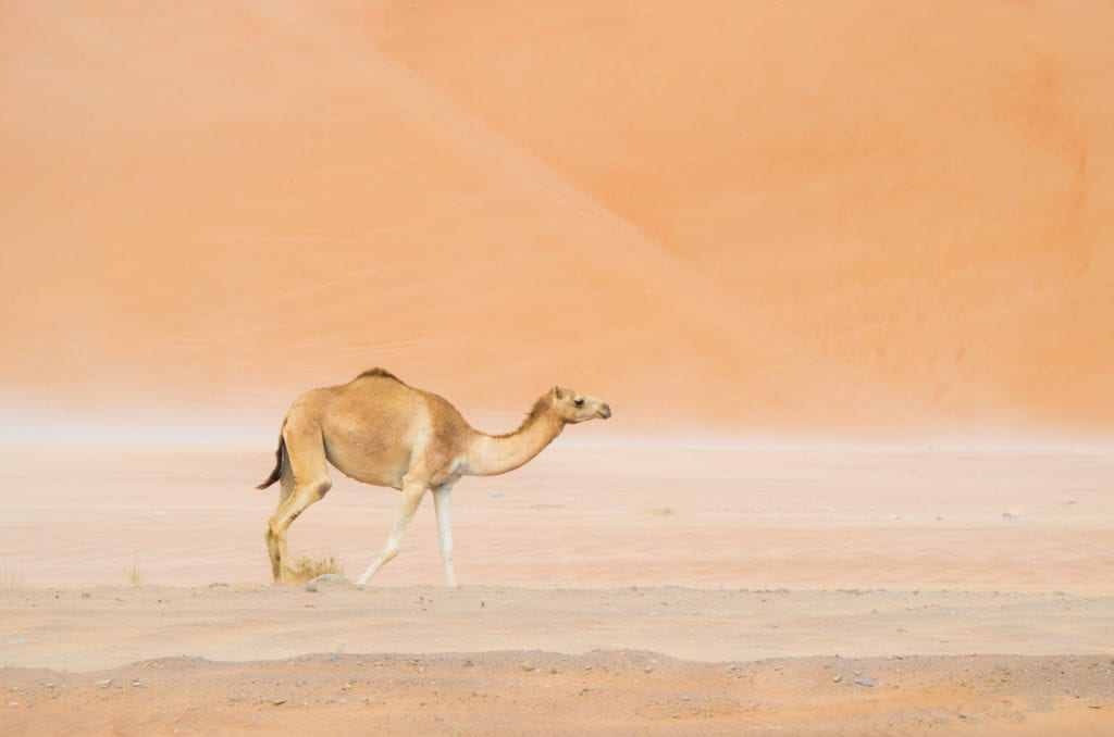Camel spotted in the Empty Quarter in Oman
