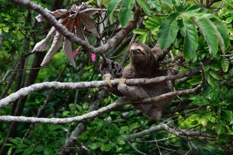 A sloth happily hangs out in a tree
