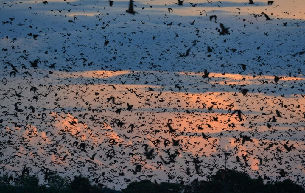 Thousands of bats fill the sky during their migration from Zambia
