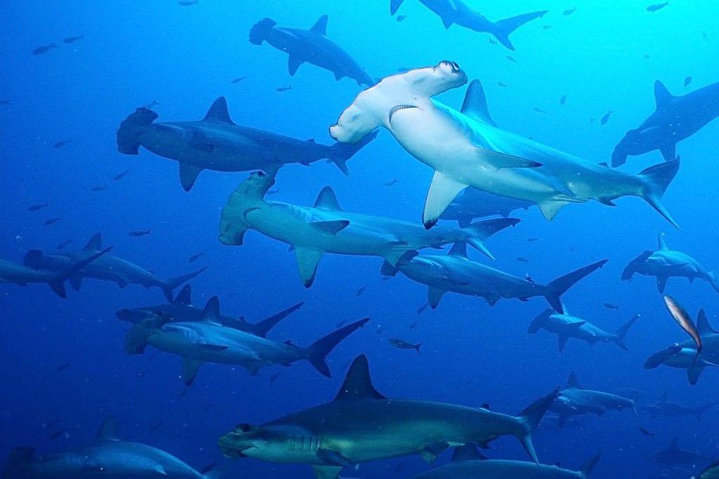 Galapagos, Hammerhead sharks
