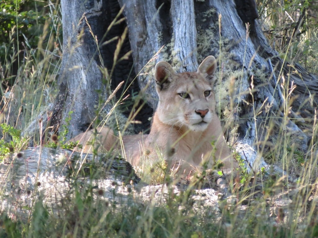 Puma relaxing in the shade, Patagonia