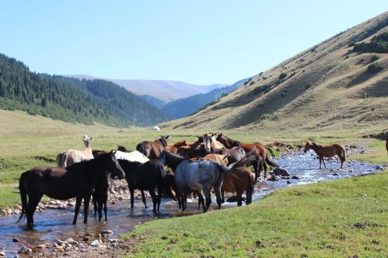 hundreds of horses roam free across the Steppe