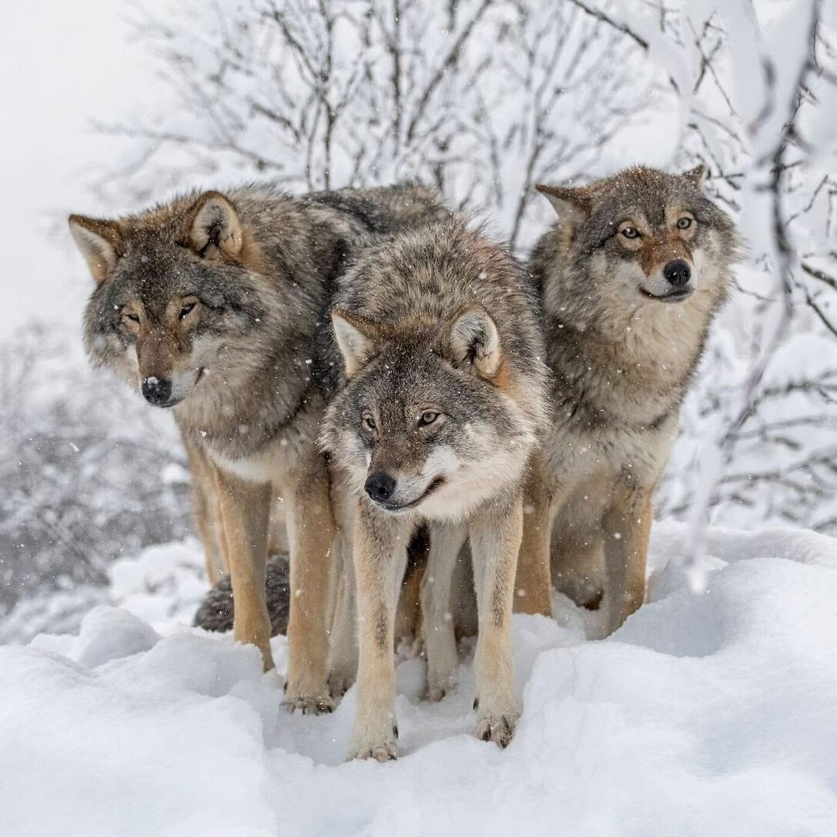 3 wolves outside Wolf Lodge, Norway