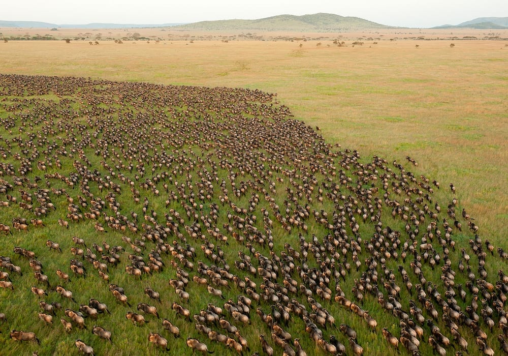 Ariel shot of the incredible Wildebeest migration through the Serengeti