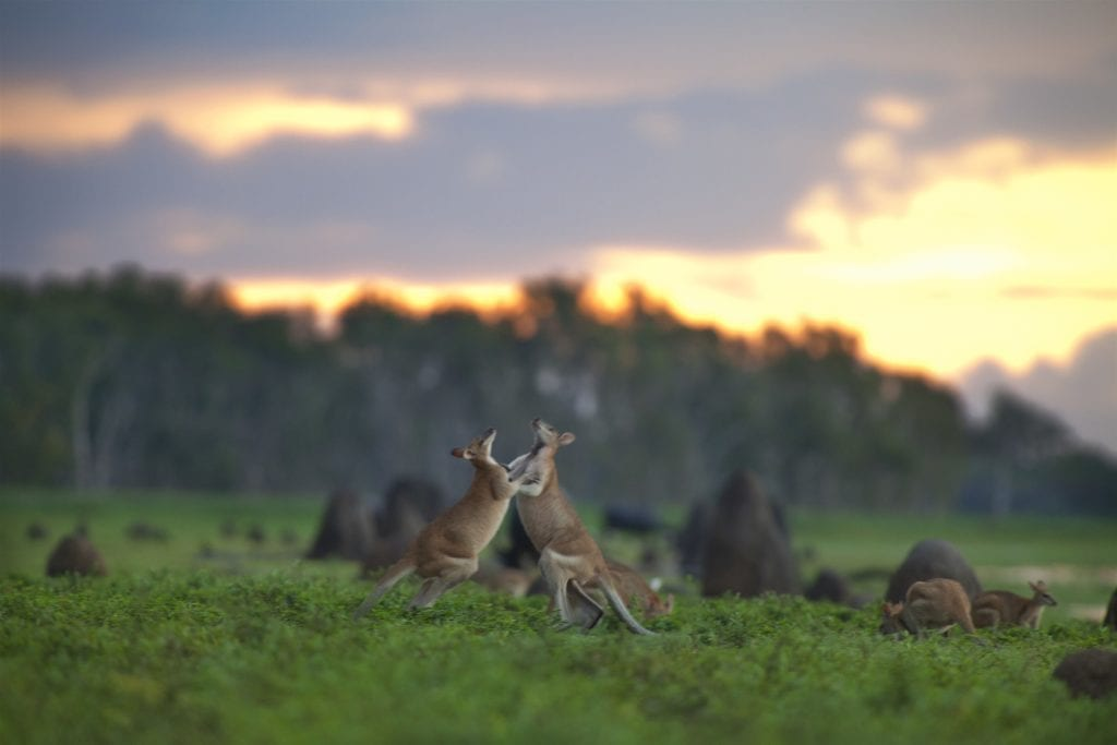 Agile Wallabies at Bamurru Plains Australia