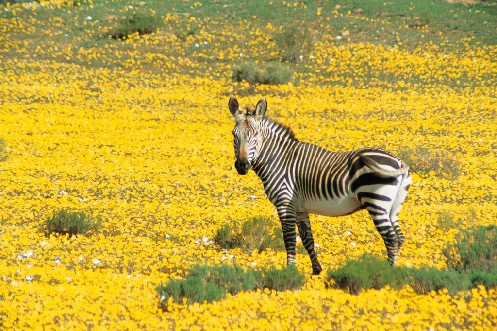 Wildlife Zebra at Bushmans Kloof South Africa