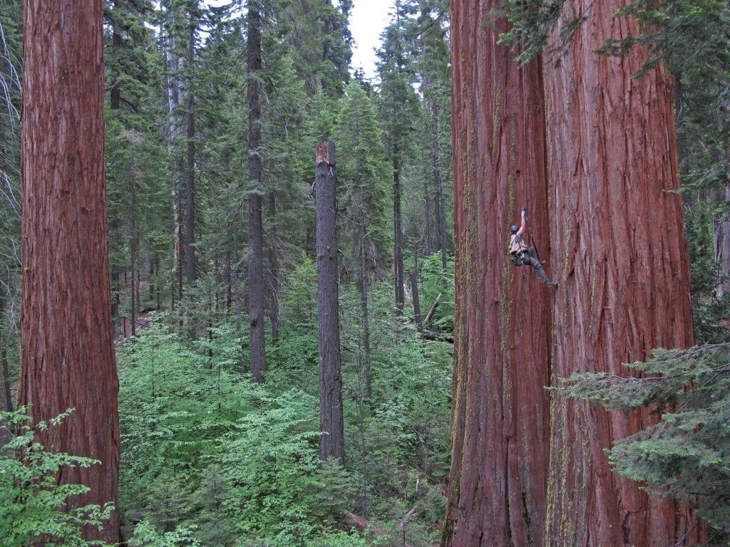 Climbing the Redwoods of California, USA