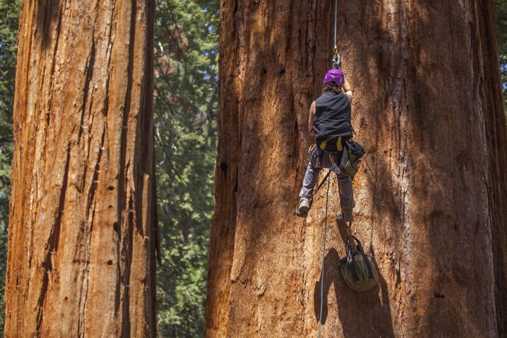 Scaling the tallest trees in California
