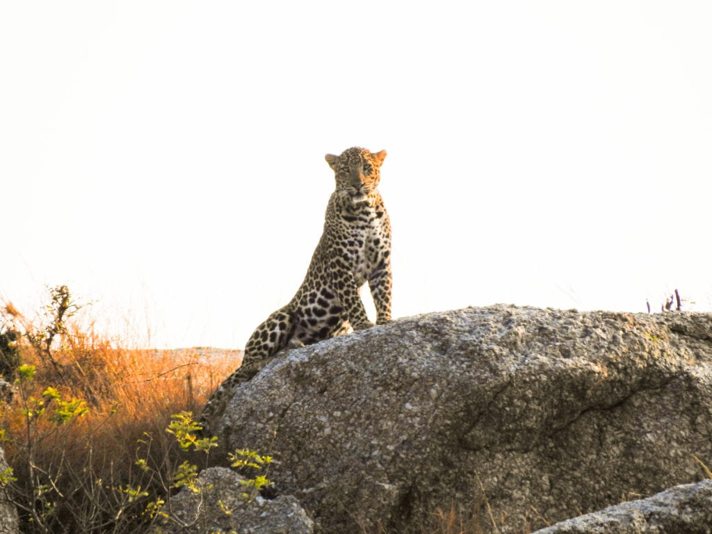 Leopard Stands Rock India