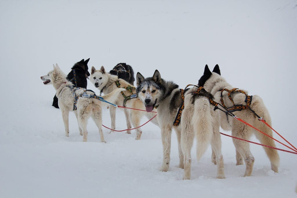 Dog Sledding in Longyearbyen -Endangered Species