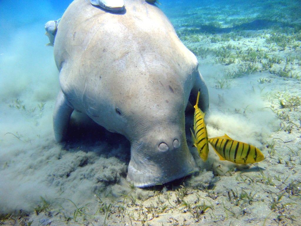 Dugong Ocean Wildlife Mozambique
