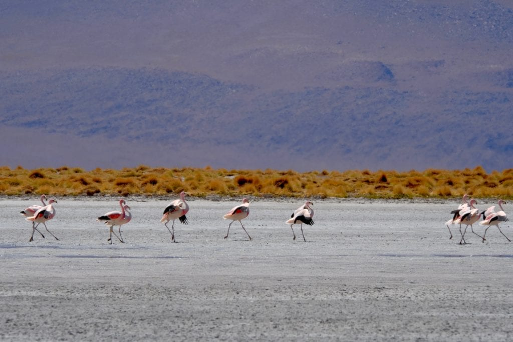 Flamingos in the water in Bolivia