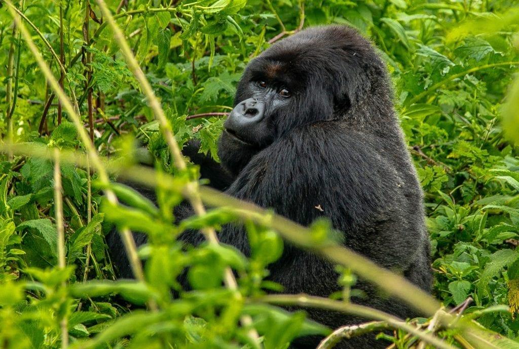 Gorilla in Congo Endangered Species