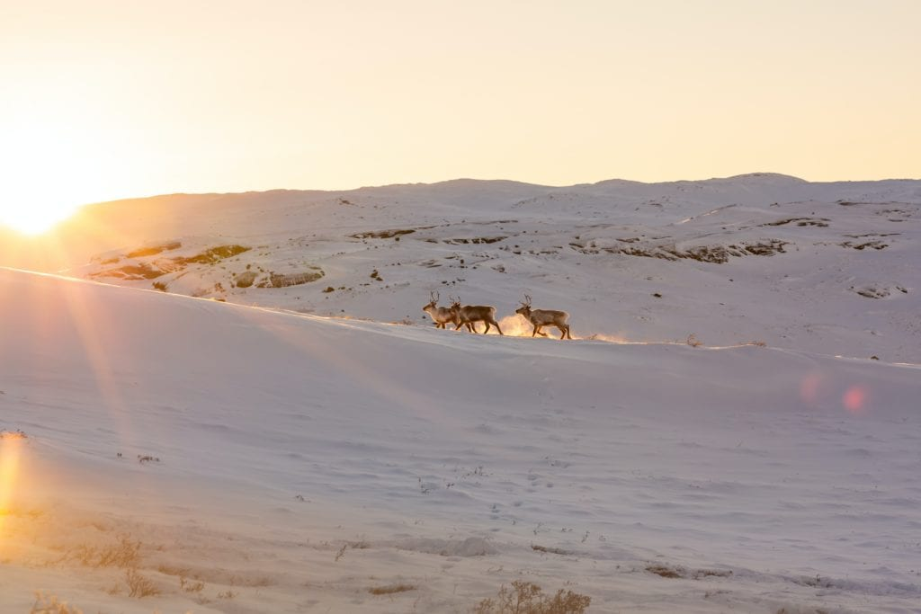 Reindeer stalking in Greenland