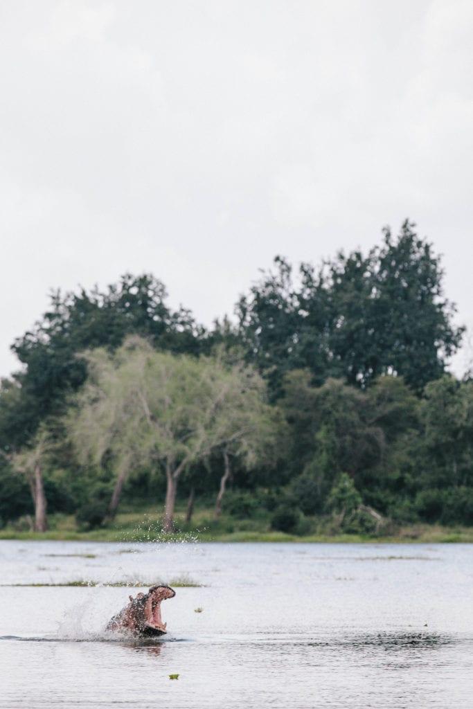 Hippo Wildlife Zimbabwe