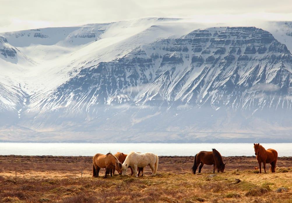Iceland lake horses