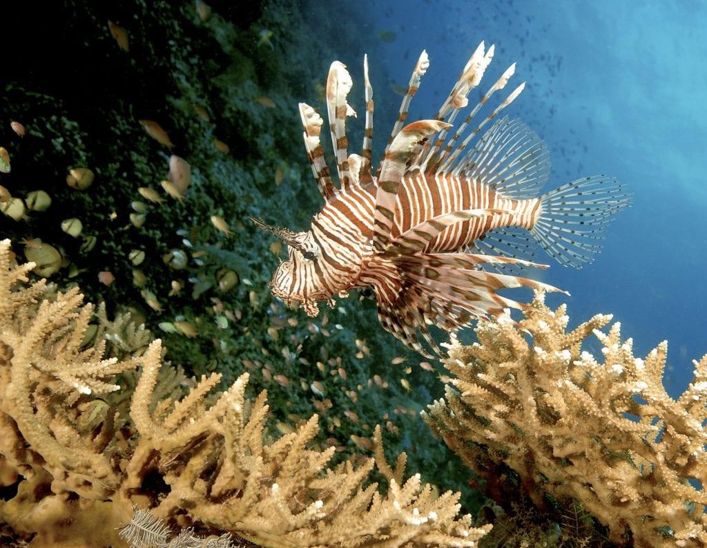 Indonesia Komodo Lionfish