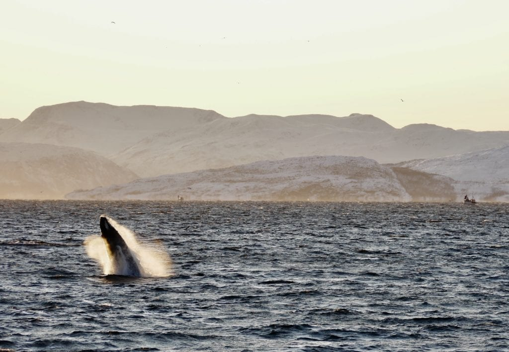 Whale jumping out ocean Norway