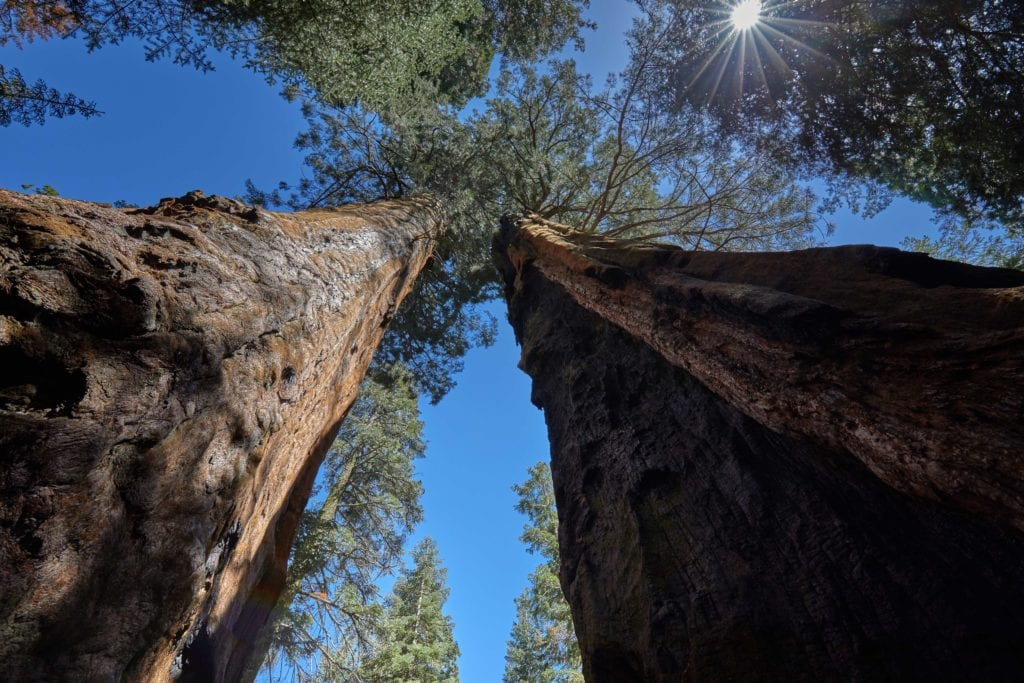 Upward view of tall trees in California