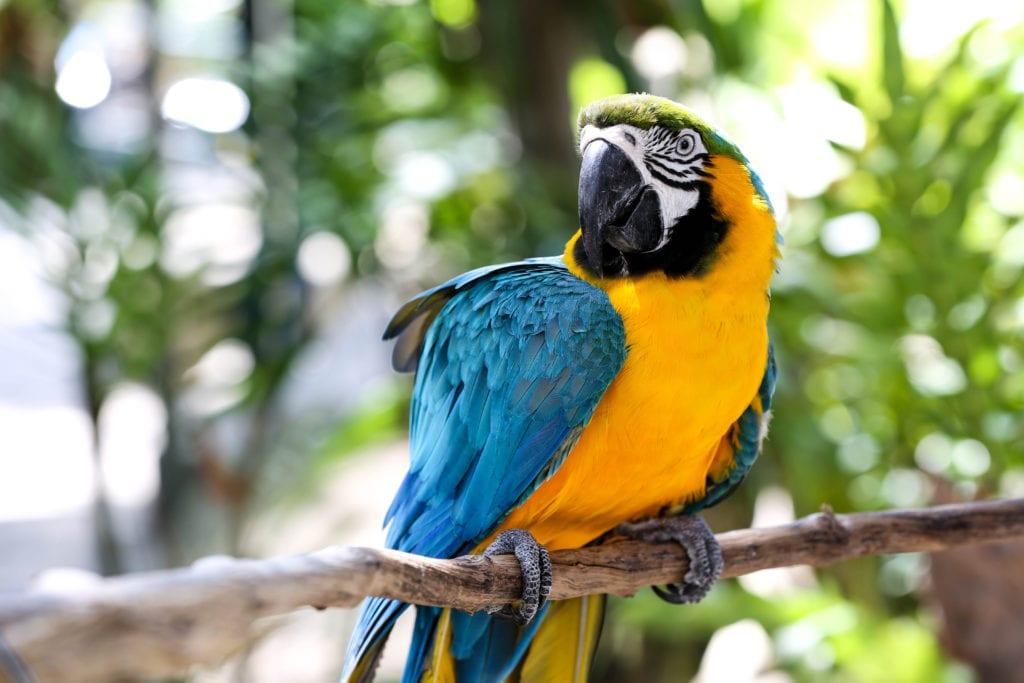 Macaw Wildlife in Peru
