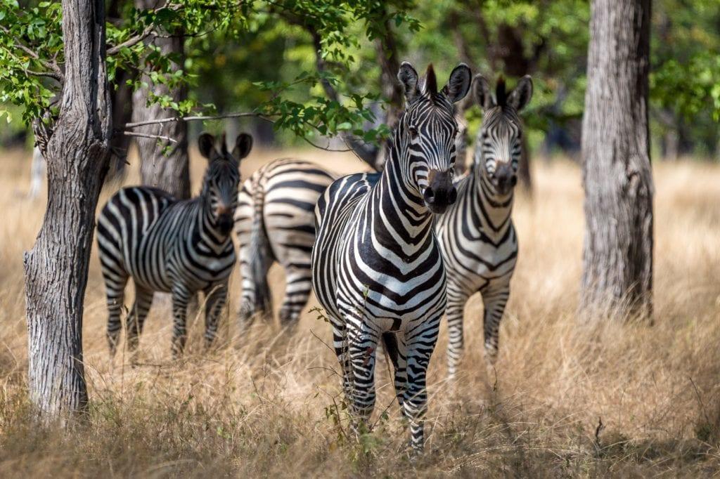 Malawi Kuthengo Zebras