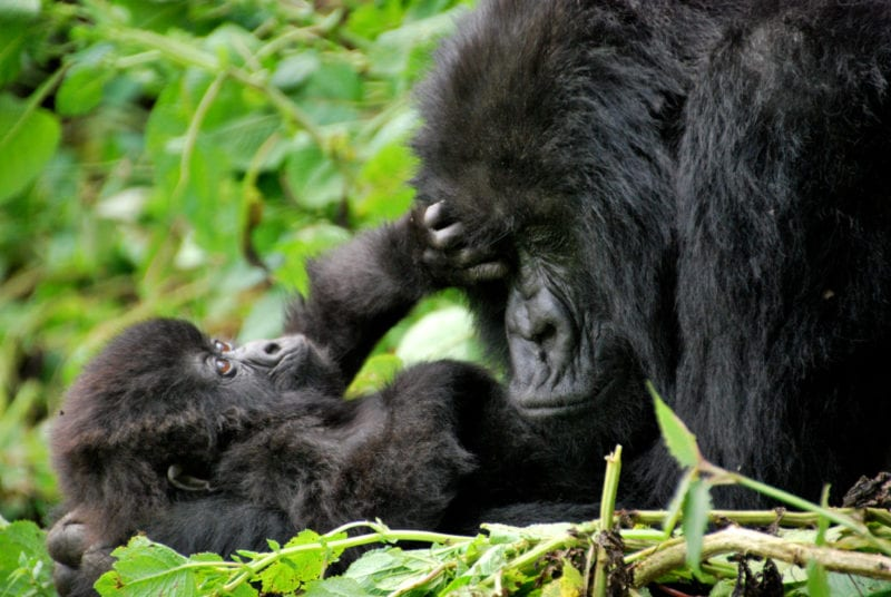 Mother and Baby Mountain Gorillas in Volcanoes National Park Rwanda