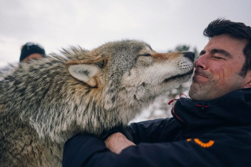 Close Encounter with Wolf in Norway