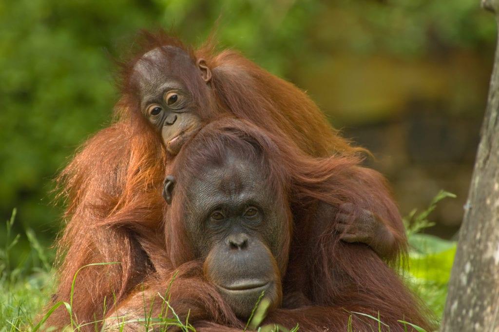 Orangutan with baby in Borneo Endangered Species