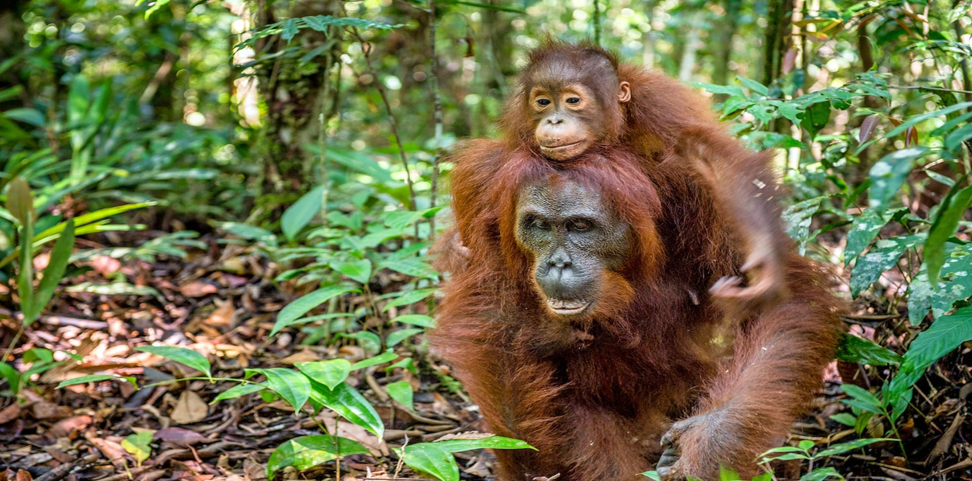 HERO Orangutan Jungle Borneo