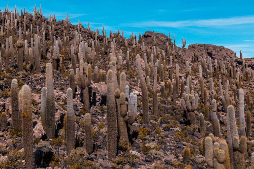 Cacti in Bolivia