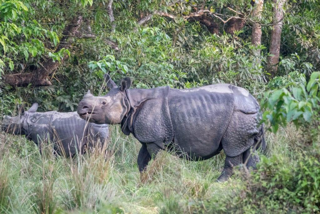 Rhinos Experience Safari in Nepal