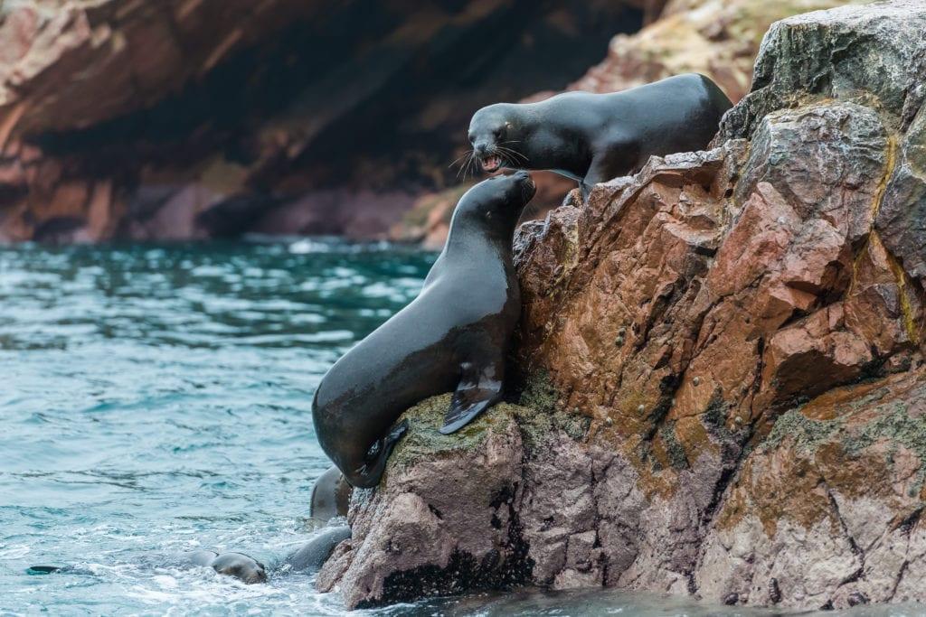 Seals on Ballestas Island in Peru
