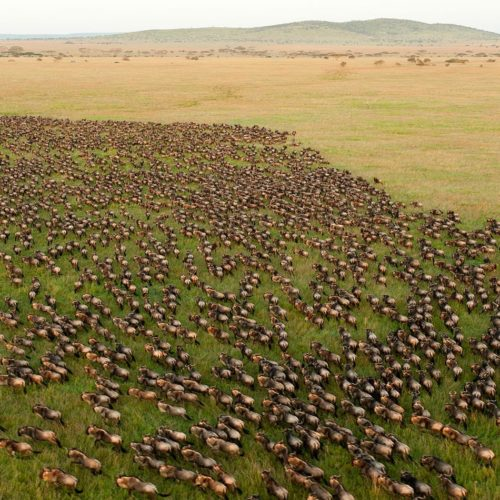 Aerial view of the Wildebeest Migration, Tanzania