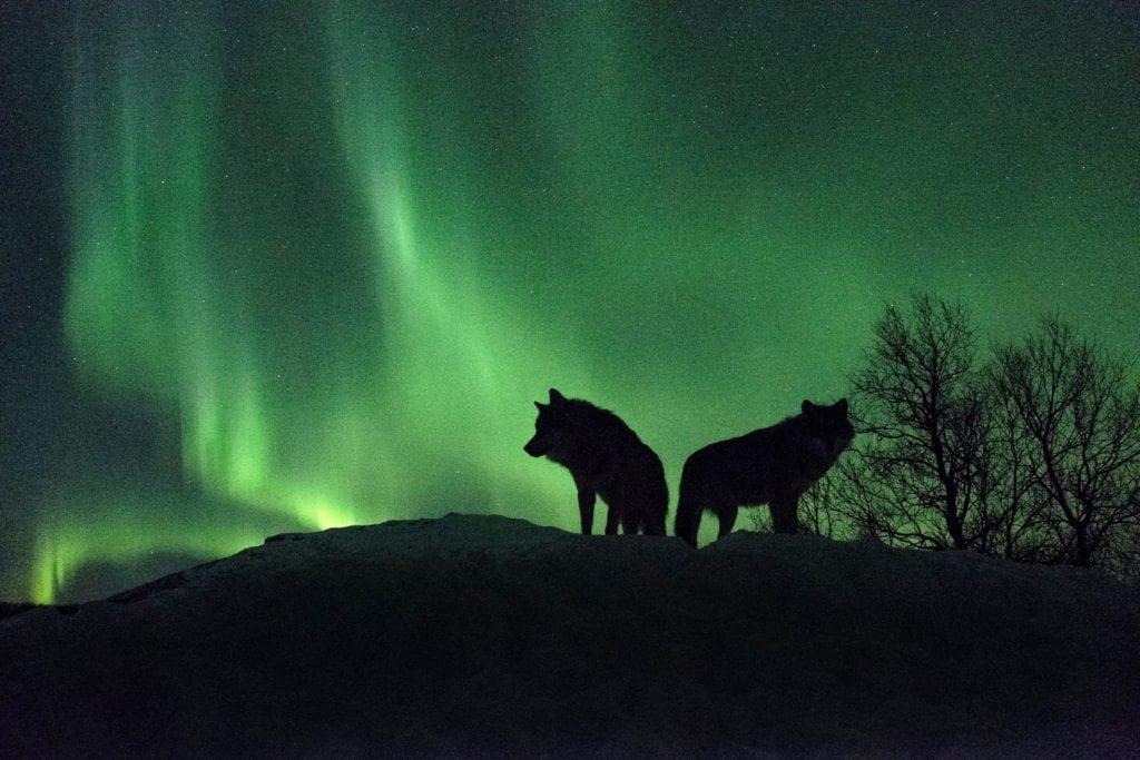 Wolves Northern Lights