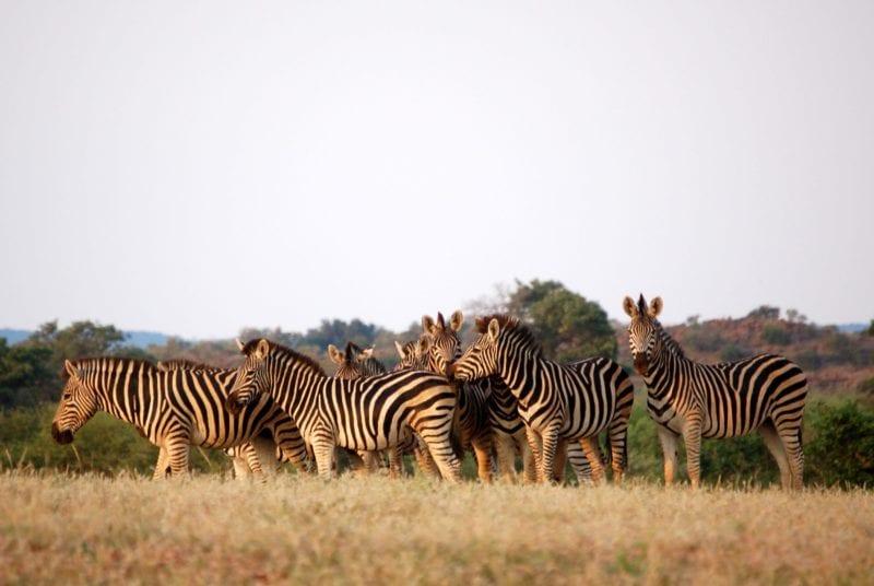 Safari Zebras in Botswana