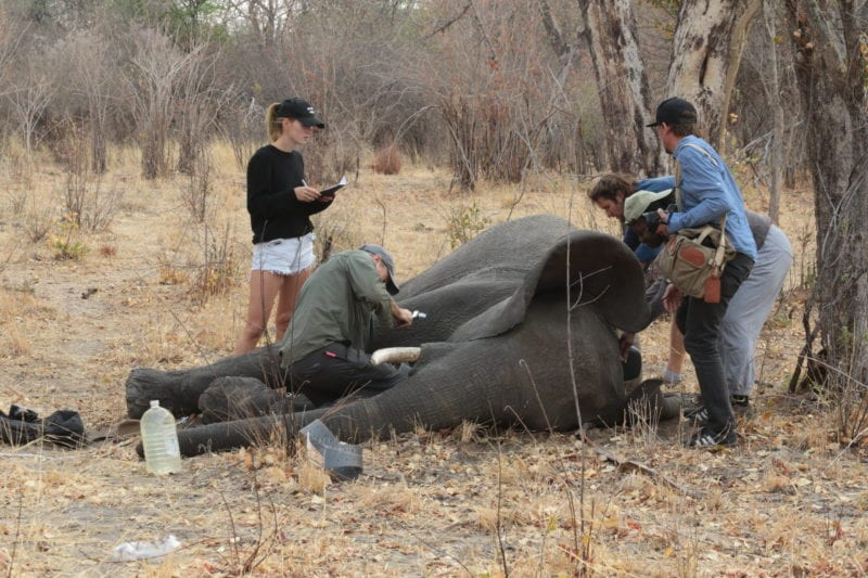 Angola Elephant Tagging Conservation