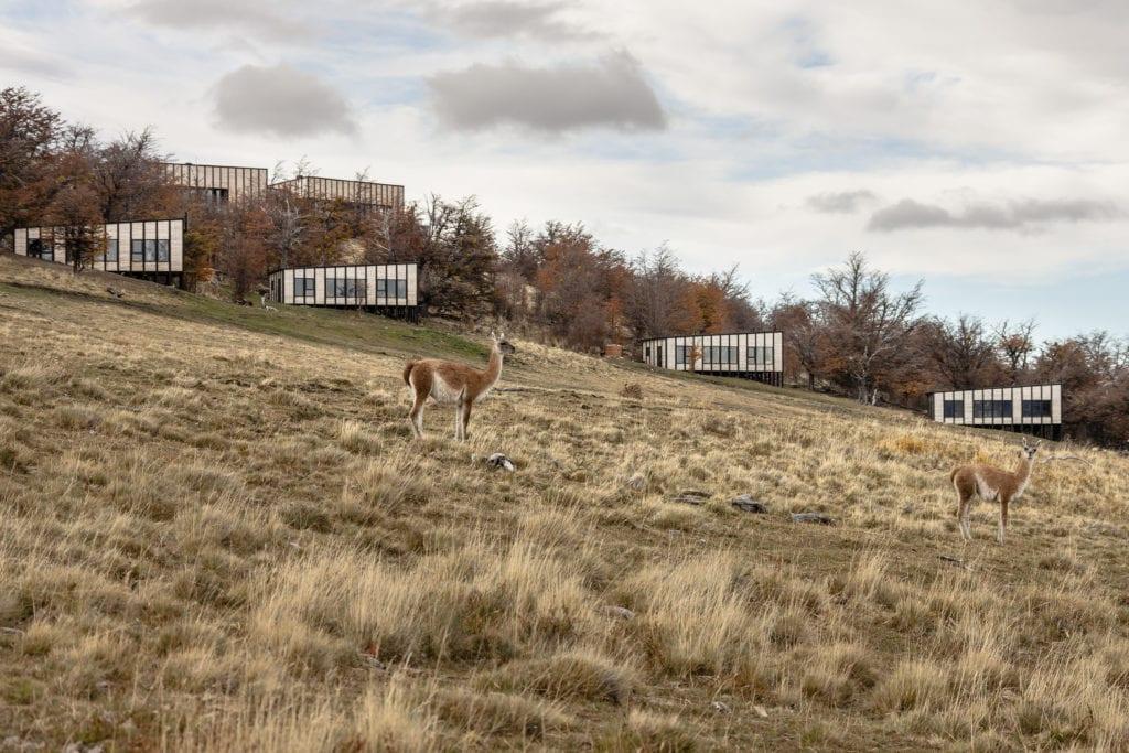 llamas outside awasi patagonia