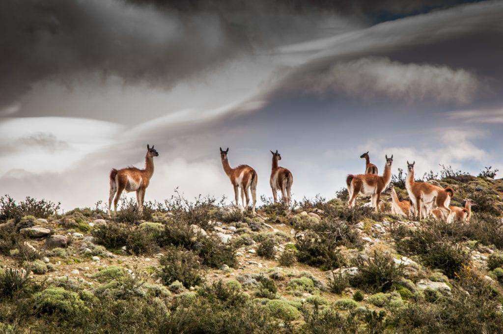llama herd near awasi Patagonia