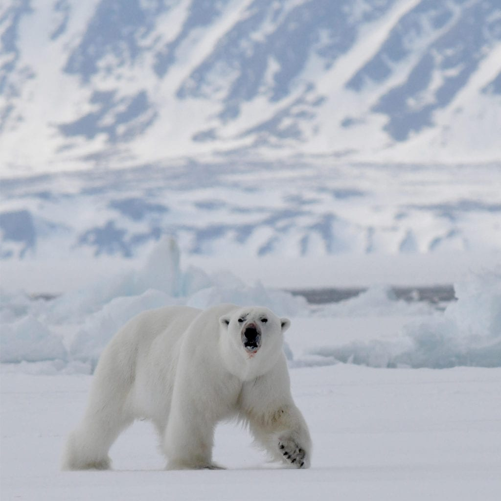 Polar bear close up Baffin Island