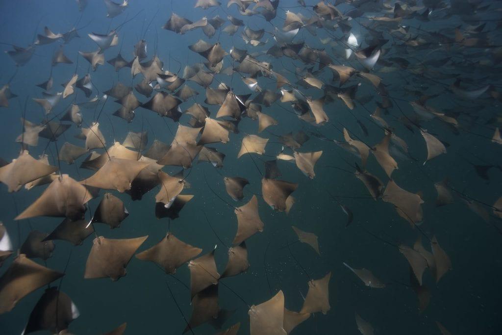 Baya California Manta Rays shoal
