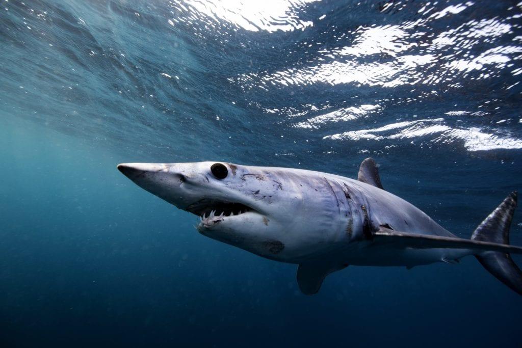 Baja California Shark